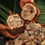 Бразильский орех и его польза для здоровья